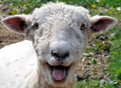John 10 happy sheep