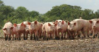 Matthew 8 herd of pigs.jpeg