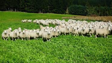 Matthew 18 sheep