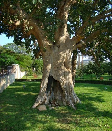 Luke 19 Sycamore tree
