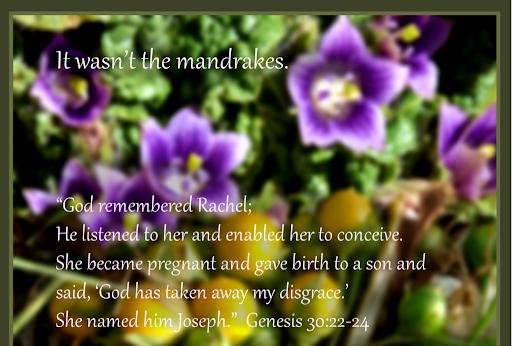 Genesis 30 not the mandrakes