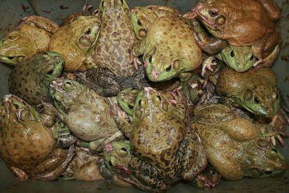 Exodus 8 frogs