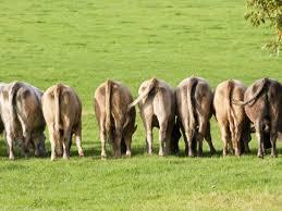 Genesis 41 cows