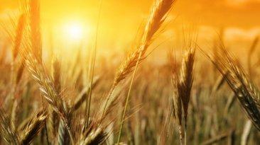 Matthew 12 grain in sun