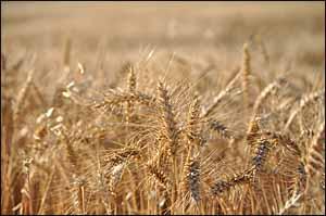 Matthew 9 harvest fields
